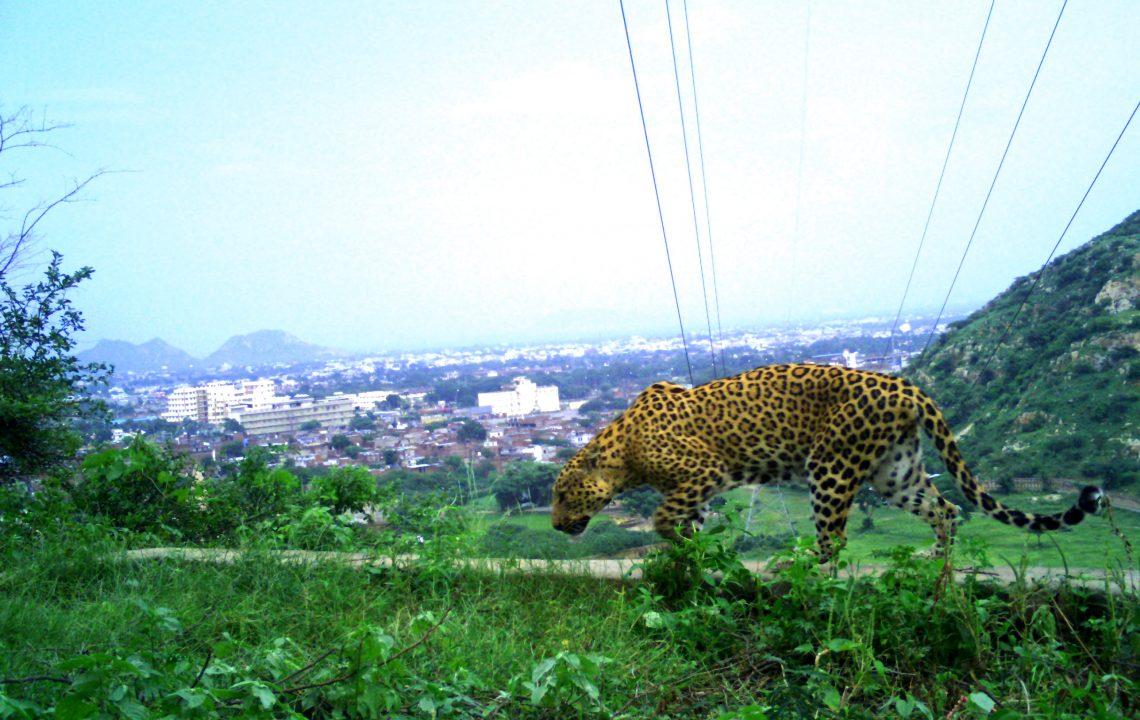 https://www.oryxthejournal.org/wp-content/uploads/urban-leopard-1140x720.jpg
